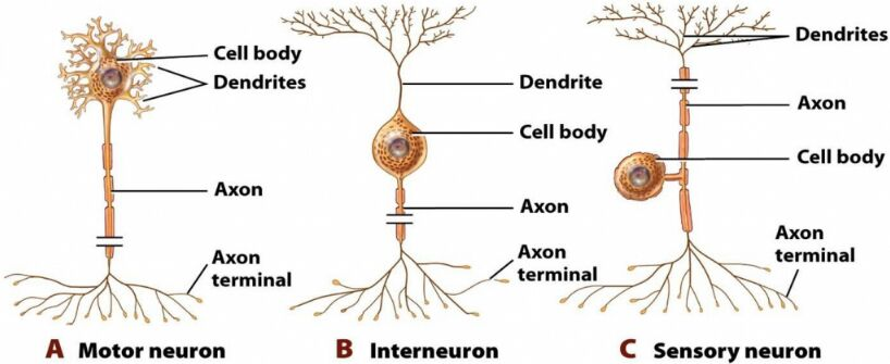 Sensory Neuron Cell Anatomy