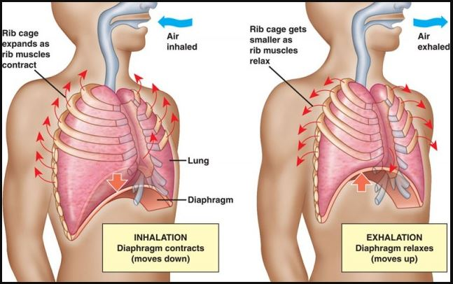 Inhalation And Exhalation Anatomy