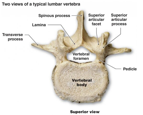 Typical Lumber Vertebra Anatomy
