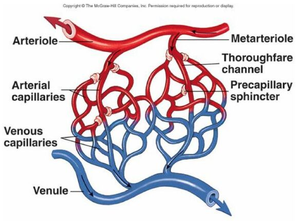 Capillaries Anatomical Structure