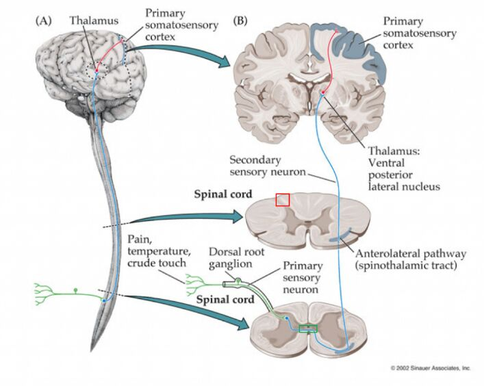 Central Nervous System Gross Anatomy