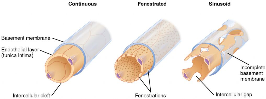 Capillary Structural Classification