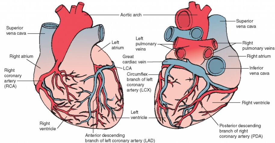 Coronary Artery And Vein Supplement