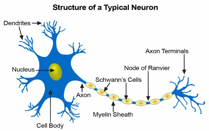 Typical Neuron Cell Structure
