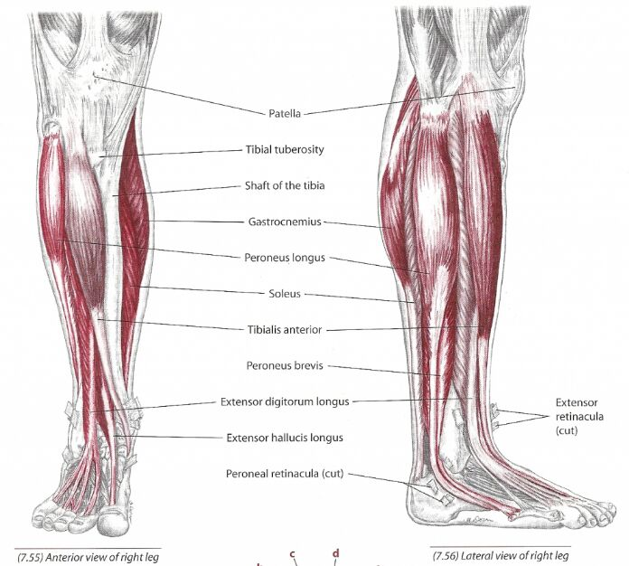 Tibialis Anterior Muscle Anatomical Location