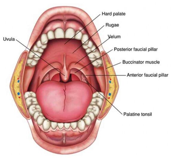 Tonsil And Adenoids Anatomy In Oral Cavity