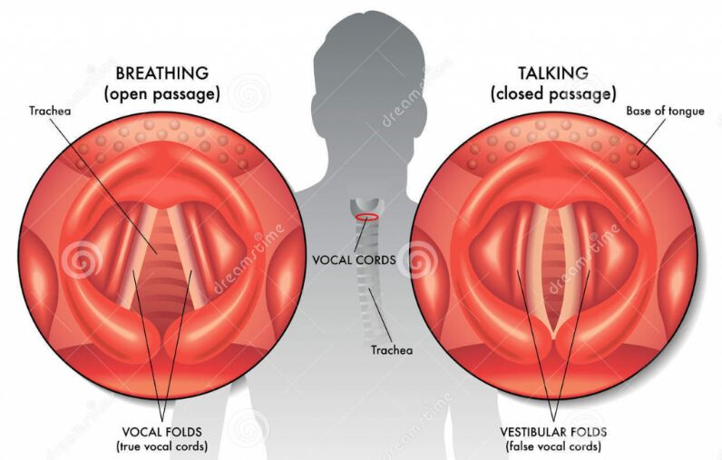 Vocal Cord Anatomy In Breathing And Talking