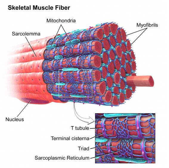 Skeletal Muscle Fiber Anatomy