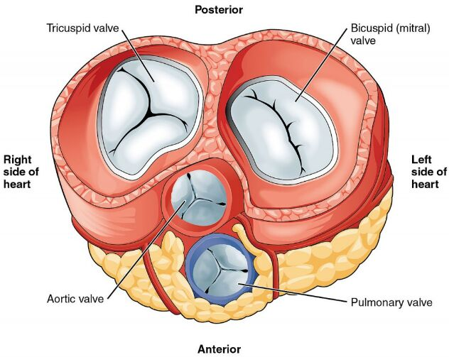 Four Heart Valve Anatomical Structure