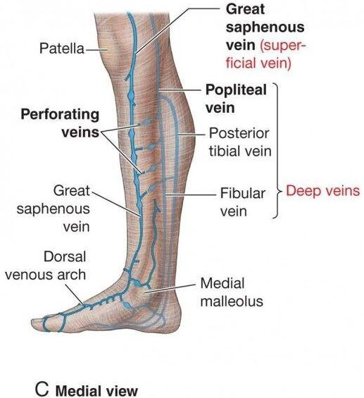 Foot Venous Supply Medial View