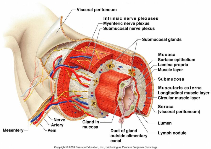 Digestive System Submucosa Anatomical Structure