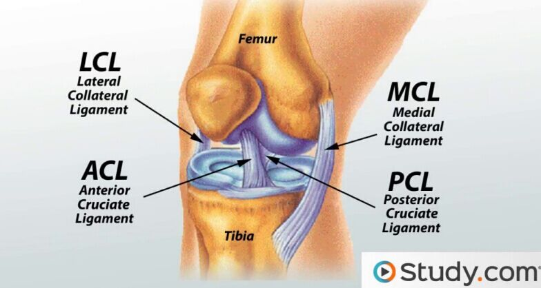 Knee Joint Ligament Anatomy