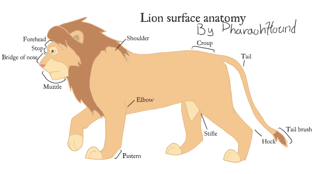 Lion Surface Anatomy