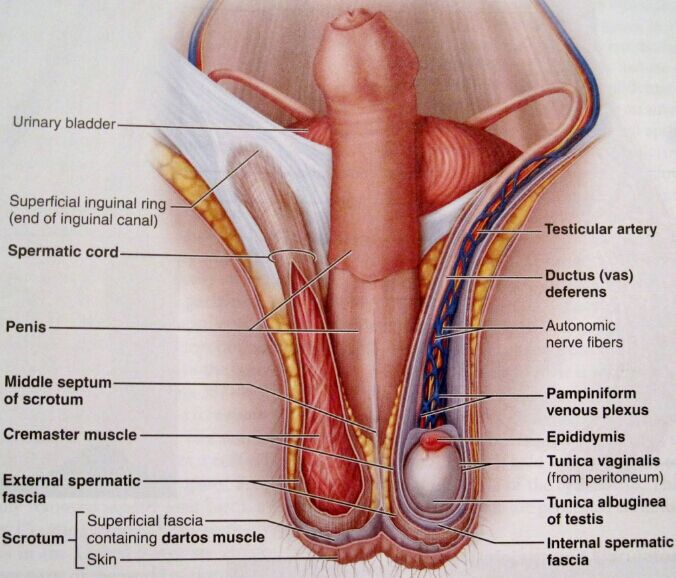 Penis Testis Gross Anatomy
