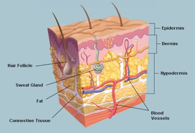 Skin Gross Anatomy