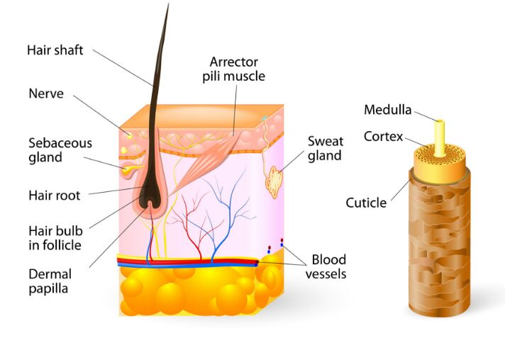 Hair With Skin Gross Anatomy