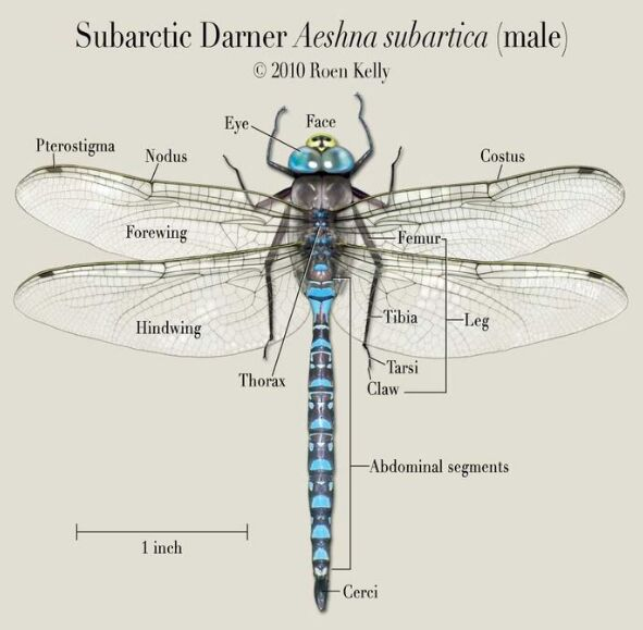 Male Dragonfly Anatomy