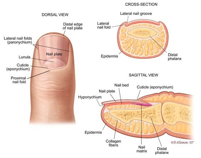 Nail Anatomy In Detail