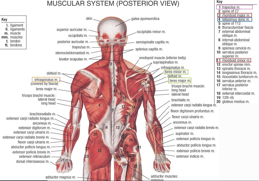 Human Muscle Anatomy Posterior View In Detail