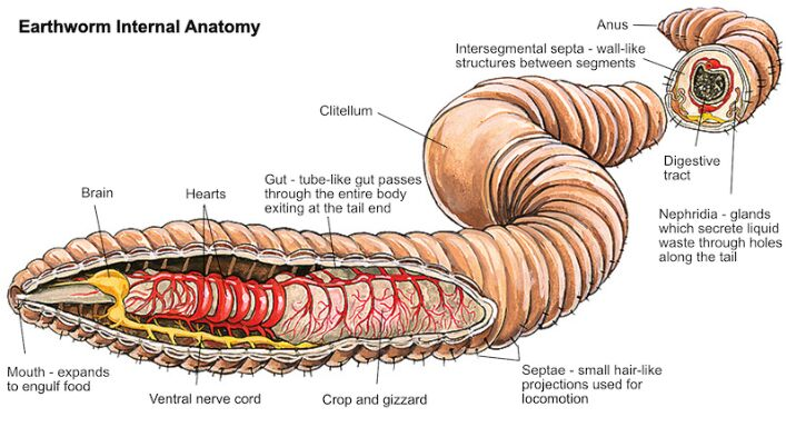 Earthworm Internal Anatomy In Detail