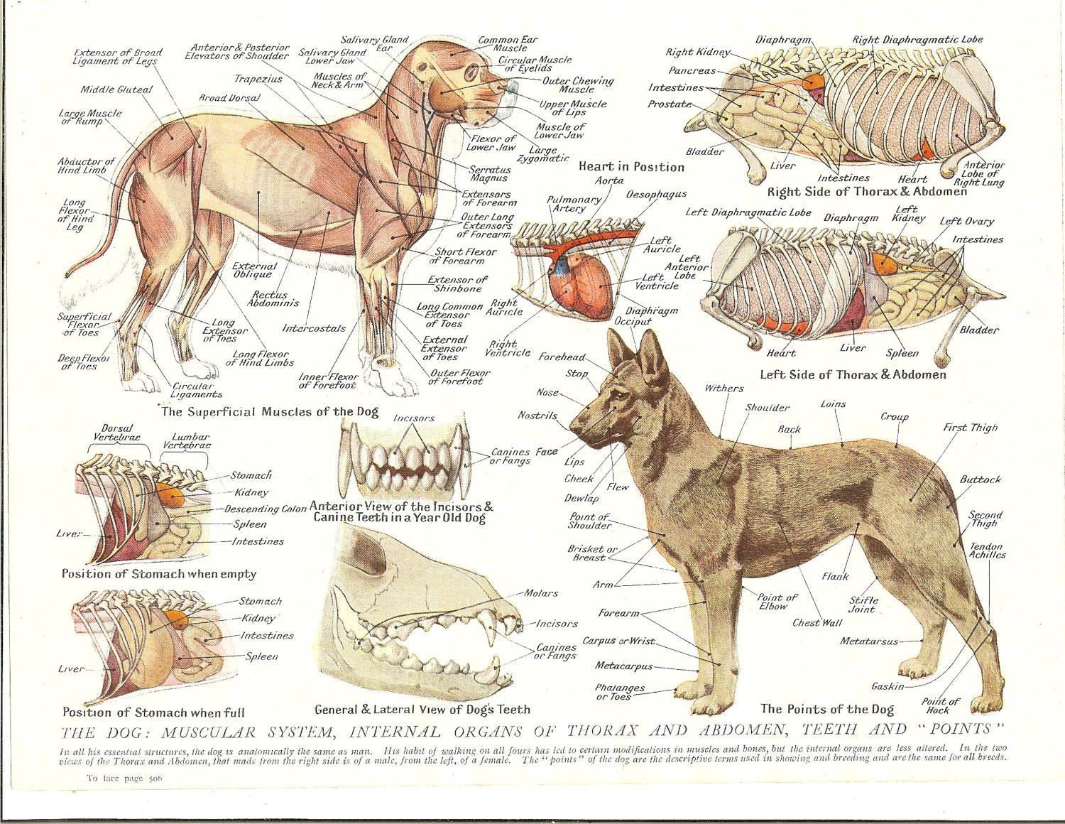 Dog Anatomy In Detail Include Muscle Skeleton Internal Organ And The External View