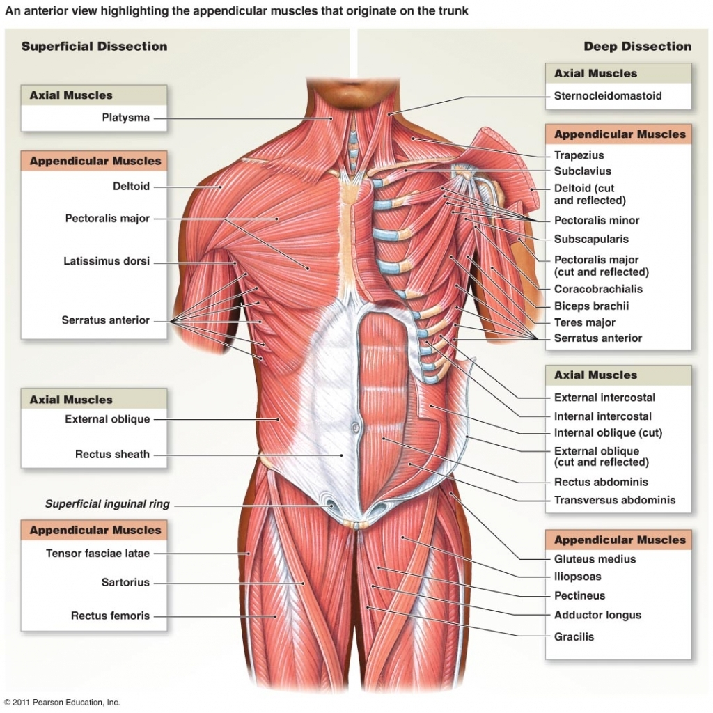 Trunk Muscles Diagram Muscles Of The Trunk Diagram - Anatomy Organ