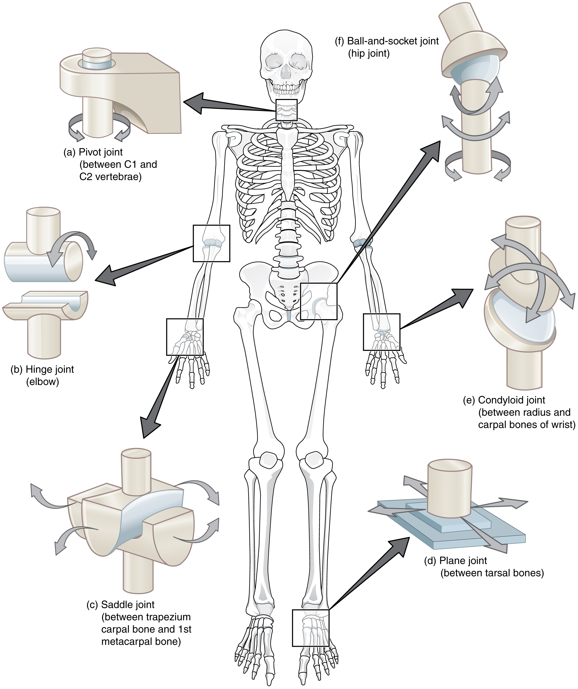 Kind Of Joints In Human Body Synovial Joint