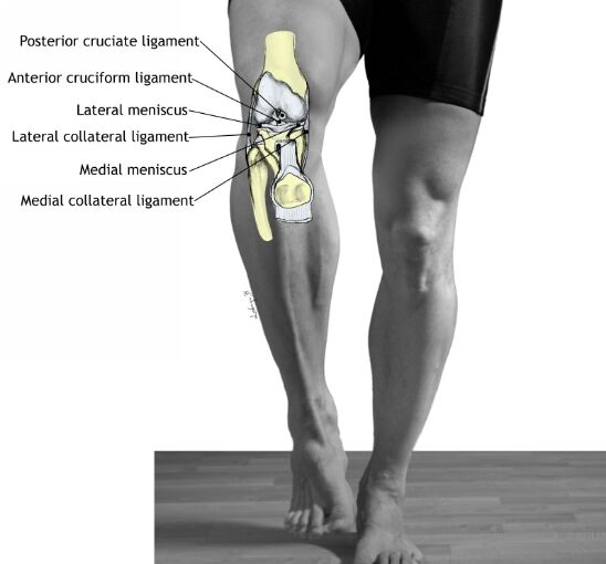 Human Knee Structure Ligaments Anatomy