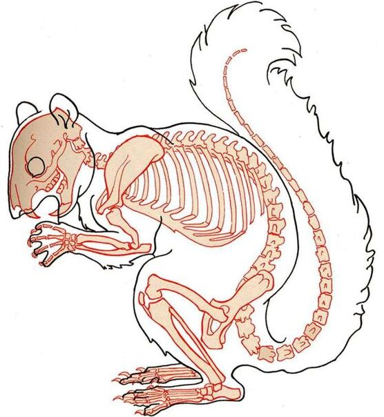 Squirrel Skeleton Diagram