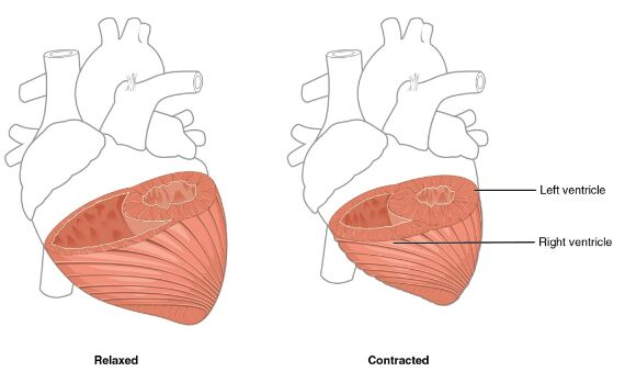 Heart Ventricles Relaxed And Contracted Anatomy