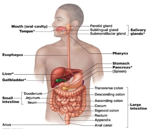 Digestive Organ Location In The Human Body