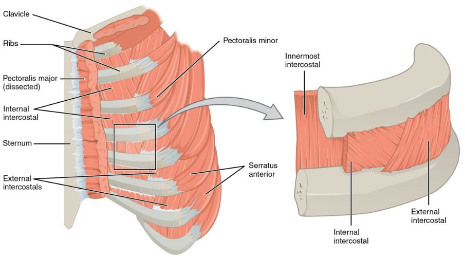 Intercostal Muscles Internal And External View