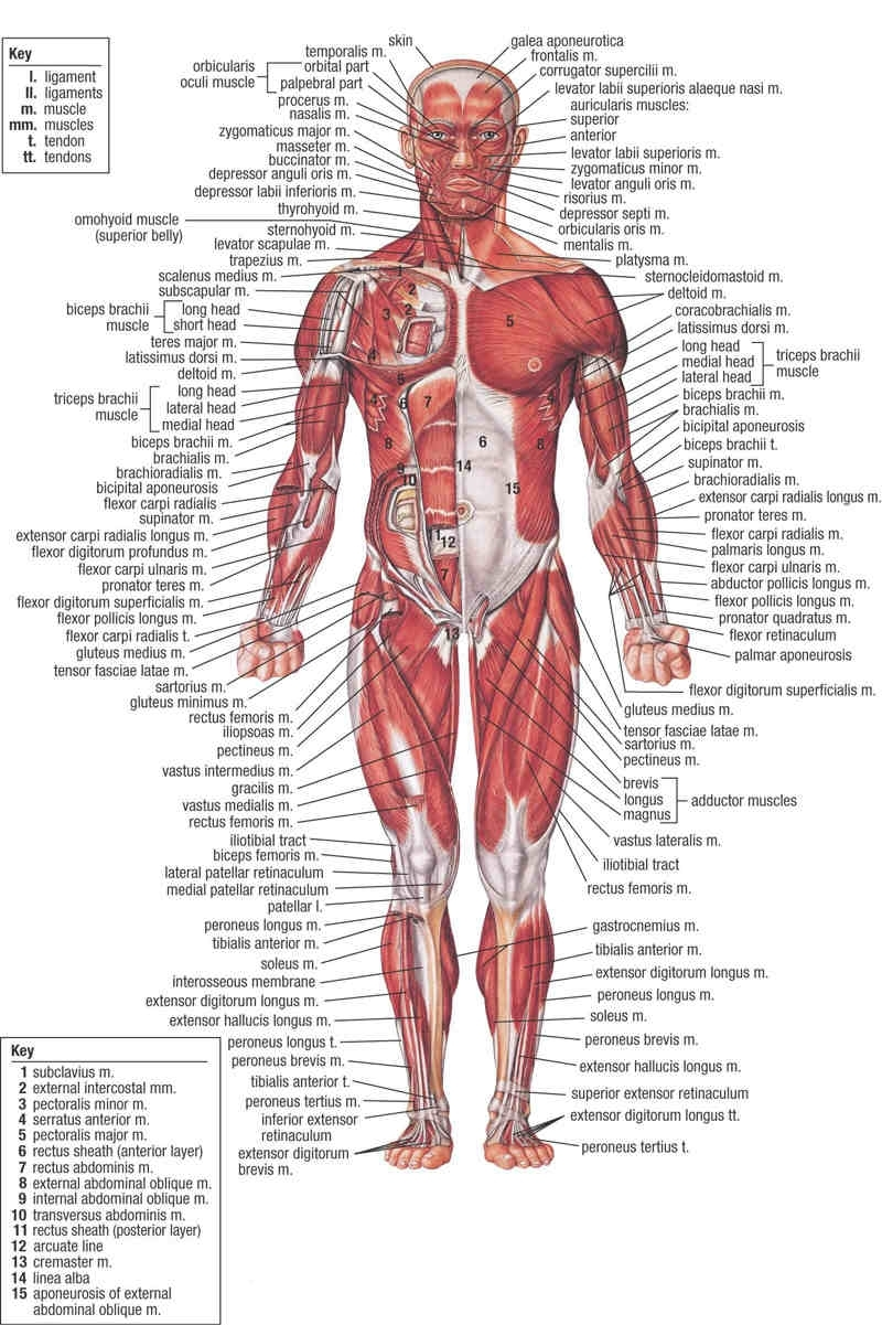 Human Body Muscle System Diagram With Detailed LabelsAnatomy Note