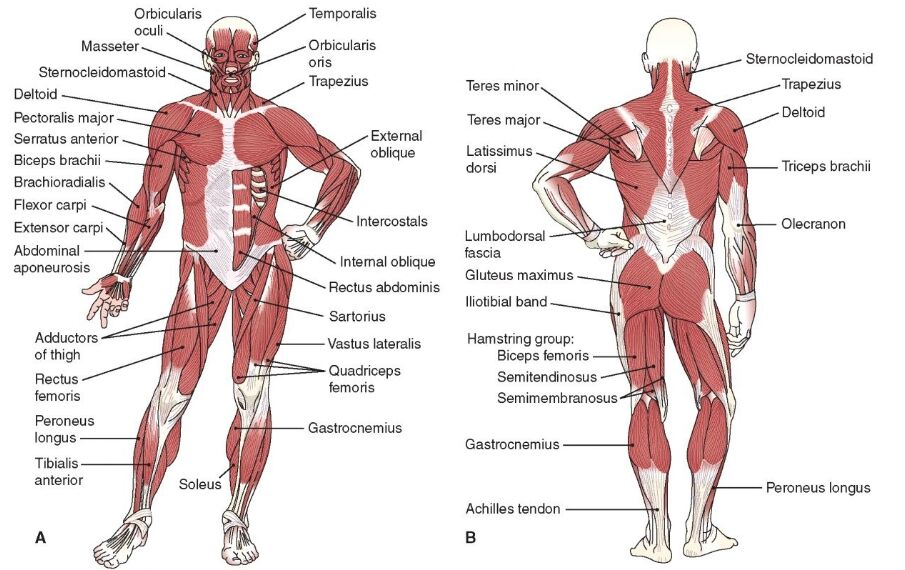Gross Anatomy Of Human Muscle Anterior And Posterior View