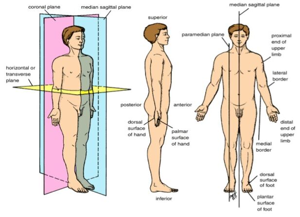 Anatomical Position Terminology