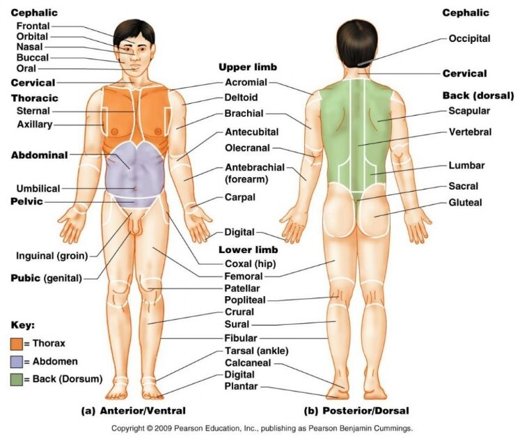 Human Anatomical Position And Gross Anatomical Terminology