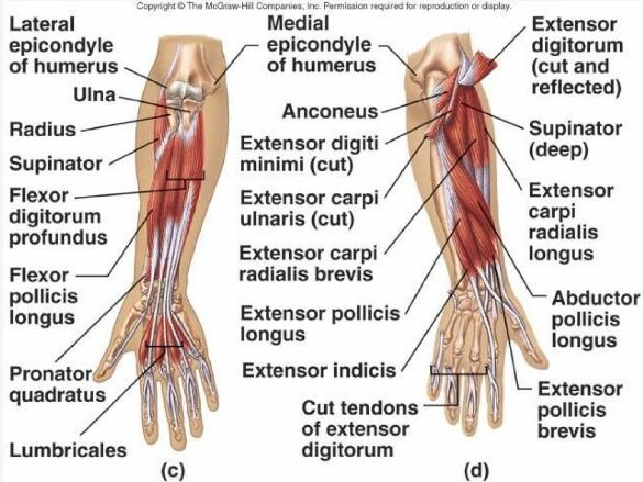Elbow And Forearm Muscle And Tendon Anatomy
