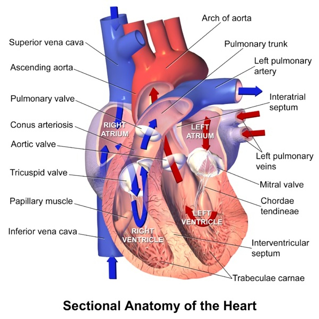 Heart Anatomy Sectional View