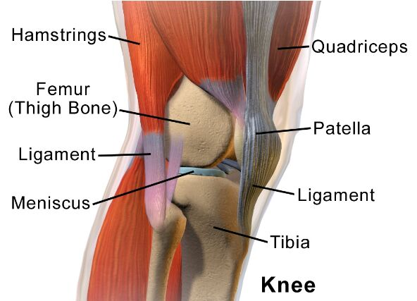 Knee Bones And Knee Muscles Anatomy
