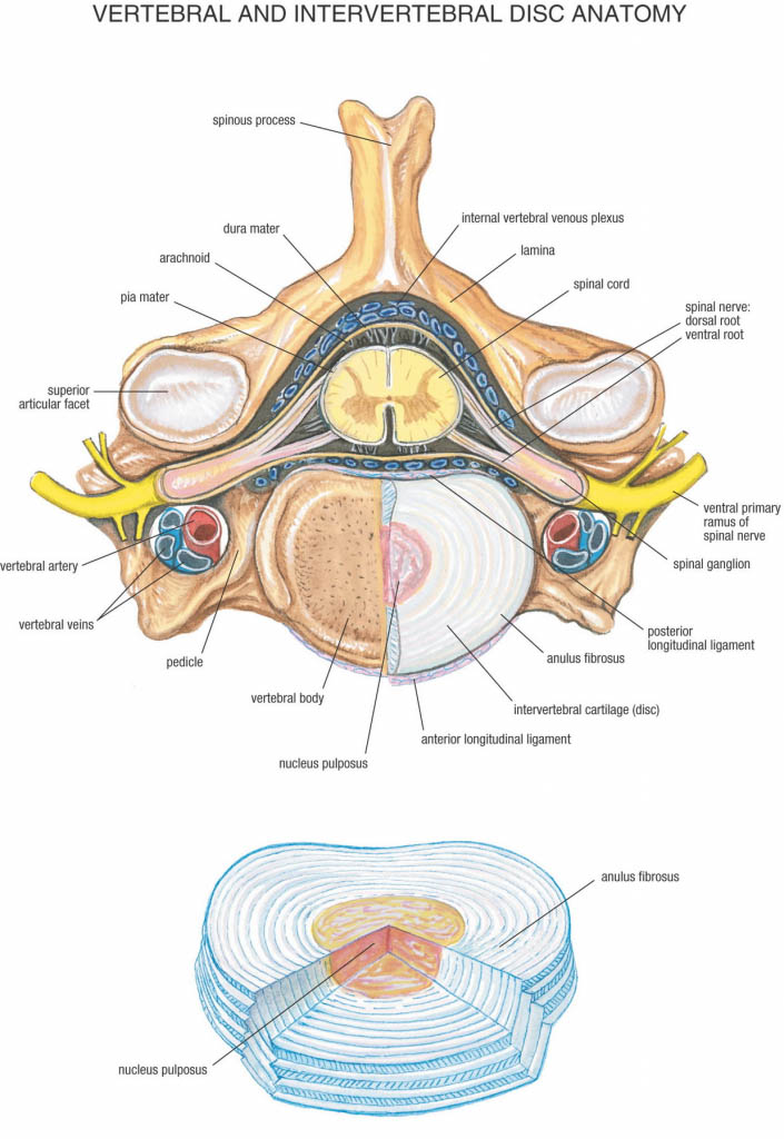 Vertebral And Intervertebral Disc Anatomy Sectional View