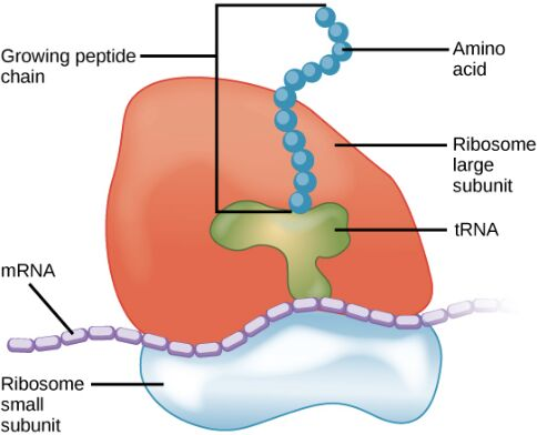 Ribosome Anatomy In Detail