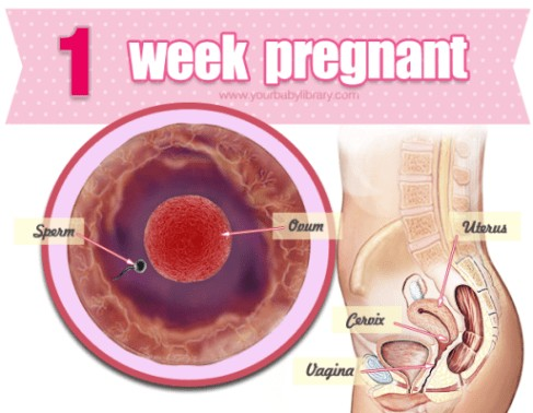 1 Weeks Pregnancy Diagram