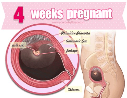 4 Weeks Pregnancy Diagram