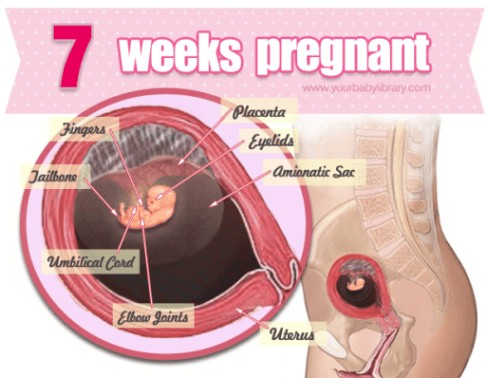 7 Weeks Pregnancy Diagram