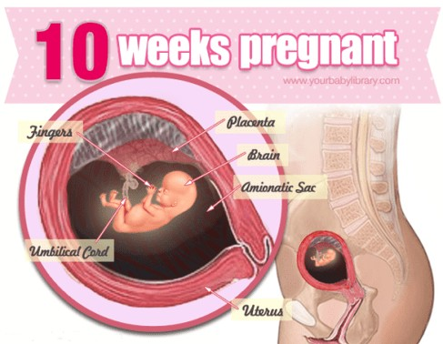 10 Weeks Pregnancy Diagram