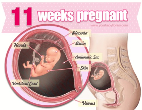 11 Weeks Pregnancy Diagram
