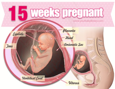 15 Weeks Pregnancy Diagram