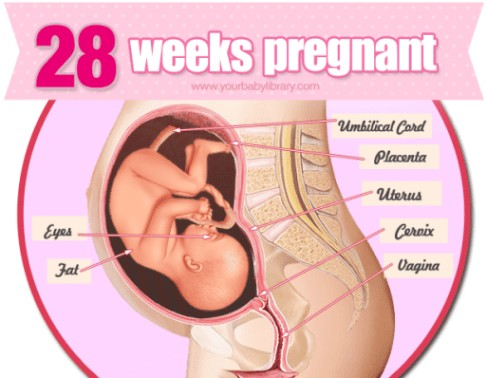 28 Weeks Pregnancy Diagram