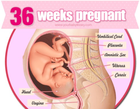 36 Weeks Pregnancy Diagram