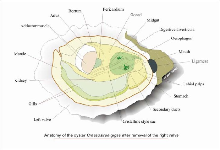Anatomy Of Pacific Oyster Diagram